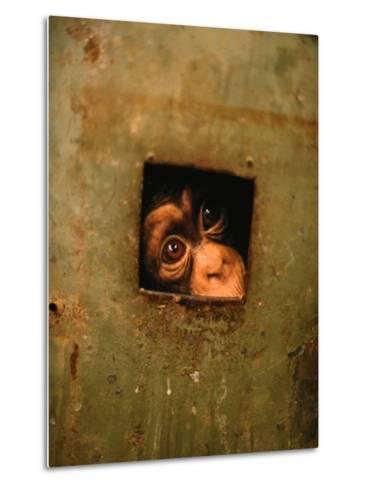 A Young Chimpanzee Held Captive in a Private Zoo in Monrovia-Michael Nichols-Metal Print
