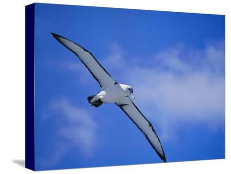 A Shy Albatross in Flight in a Clear Blue Sky, This Species is Considered Vulnerable-Jason Edwards-Stretched Canvas Print