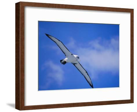 A Shy Albatross in Flight in a Clear Blue Sky, This Species is Considered Vulnerable-Jason Edwards-Framed Art Print