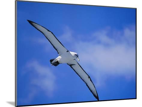 A Shy Albatross in Flight in a Clear Blue Sky, This Species is Considered Vulnerable-Jason Edwards-Mounted Photographic Print