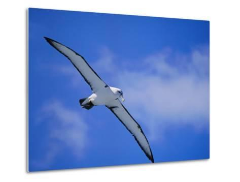 A Shy Albatross in Flight in a Clear Blue Sky, This Species is Considered Vulnerable-Jason Edwards-Metal Print