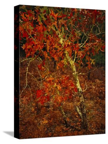 Oak Tree with Fall Foliage Standing Among Fallen Leaves and Ferns Near Lake Waccamaw-Raymond Gehman-Stretched Canvas Print