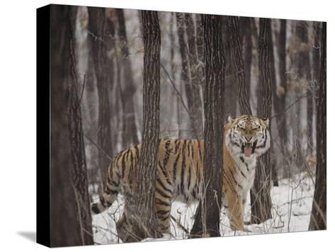A Gaping Grimace Allows a Siberian Tiger to Take in Scents-Marc Moritsch-Stretched Canvas Print