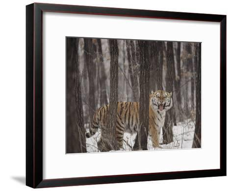 A Gaping Grimace Allows a Siberian Tiger to Take in Scents-Marc Moritsch-Framed Art Print