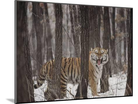 A Gaping Grimace Allows a Siberian Tiger to Take in Scents-Marc Moritsch-Mounted Photographic Print