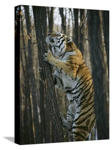 A Male Siberian Tiger Scales a Tree to Reach the Skin of a Wild Boar-Marc Moritsch-Stretched Canvas Print