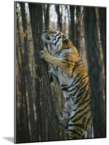 A Male Siberian Tiger Scales a Tree to Reach the Skin of a Wild Boar-Marc Moritsch-Mounted Photographic Print