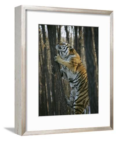 A Male Siberian Tiger Scales a Tree to Reach the Skin of a Wild Boar-Marc Moritsch-Framed Art Print