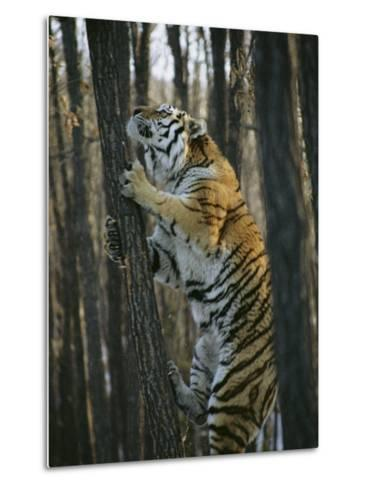 A Male Siberian Tiger Scales a Tree to Reach the Skin of a Wild Boar-Marc Moritsch-Metal Print