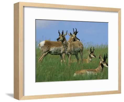 A Group of Pronghorns in Buffalo Gap National Grassland-Annie Griffiths Belt-Framed Art Print