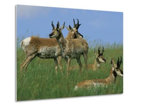 A Group of Pronghorns in Buffalo Gap National Grassland-Annie Griffiths Belt-Metal Print