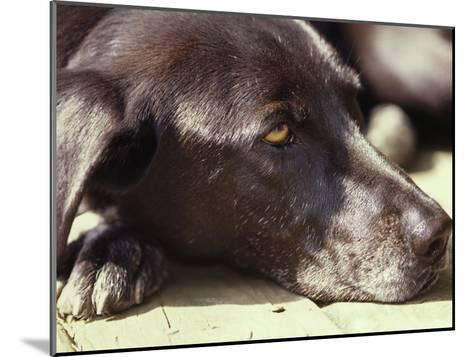 Black Lab Lounges in the Afternoon Sun-Stacy Gold-Mounted Photographic Print