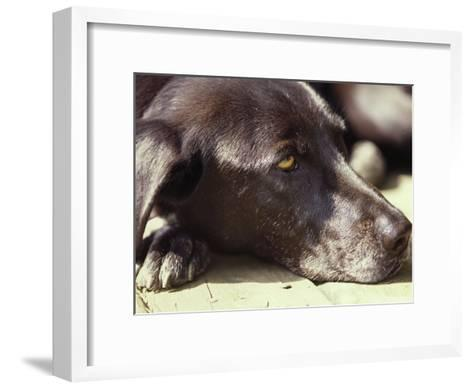 Black Lab Lounges in the Afternoon Sun-Stacy Gold-Framed Art Print
