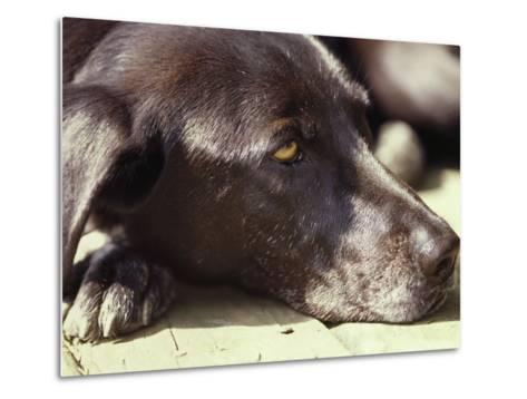 Black Lab Lounges in the Afternoon Sun-Stacy Gold-Metal Print