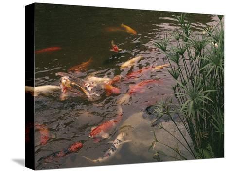 Koi Fish Feed at the Morikami Museum and Japanese Gardens-Nadia M^ B^ Hughes-Stretched Canvas Print
