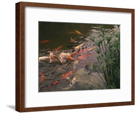 Koi Fish Feed at the Morikami Museum and Japanese Gardens-Nadia M^ B^ Hughes-Framed Art Print