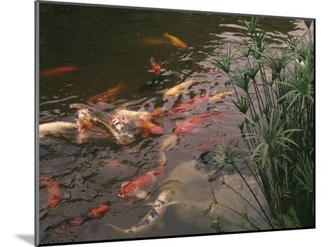 Koi Fish Feed at the Morikami Museum and Japanese Gardens-Nadia M^ B^ Hughes-Mounted Photographic Print
