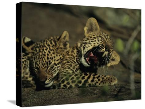 Yawning Four-Month-Old Leopard Cub with its Sleeping Sibling-Kim Wolhuter-Stretched Canvas Print