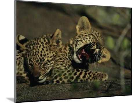 Yawning Four-Month-Old Leopard Cub with its Sleeping Sibling-Kim Wolhuter-Mounted Photographic Print
