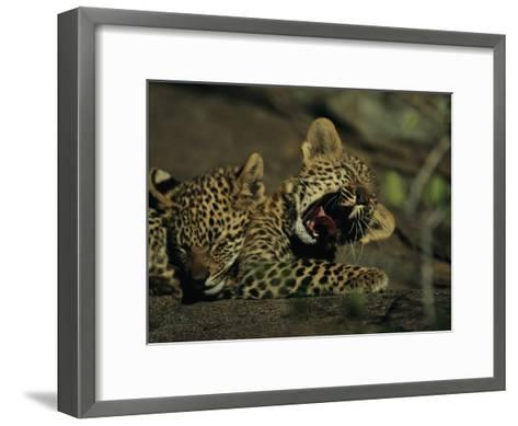 Yawning Four-Month-Old Leopard Cub with its Sleeping Sibling-Kim Wolhuter-Framed Art Print