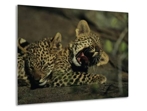 Yawning Four-Month-Old Leopard Cub with its Sleeping Sibling-Kim Wolhuter-Metal Print