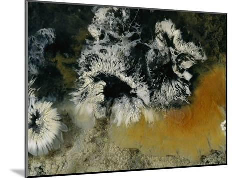 Colonies of Filamentous Bacteria in an Uzon Hot Spring-Peter Carsten-Mounted Photographic Print