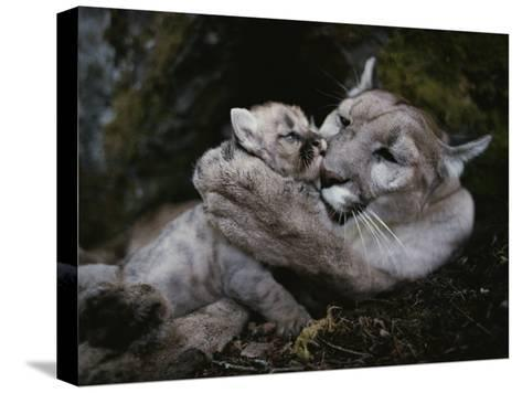Mother Mountain Lion, Felis Concolor, Grooms a Two-Week-Old Kitten-Jim And Jamie Dutcher-Stretched Canvas Print