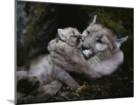 Mother Mountain Lion, Felis Concolor, Grooms a Two-Week-Old Kitten-Jim And Jamie Dutcher-Mounted Photographic Print