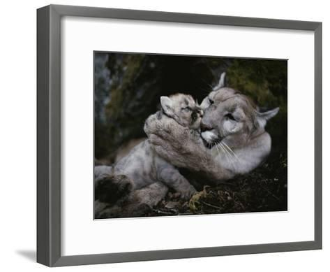 Mother Mountain Lion, Felis Concolor, Grooms a Two-Week-Old Kitten-Jim And Jamie Dutcher-Framed Art Print