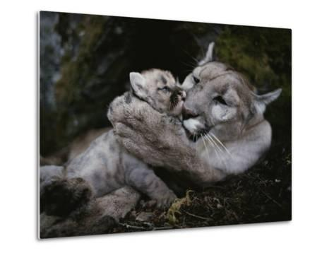 Mother Mountain Lion, Felis Concolor, Grooms a Two-Week-Old Kitten-Jim And Jamie Dutcher-Metal Print