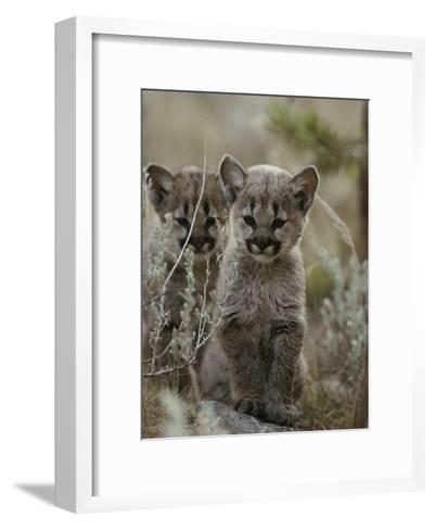 Pair of Eight-Week-Old Cougar Kittens-Jim And Jamie Dutcher-Framed Art Print