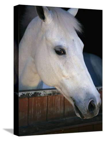 Portrait of a White Horse Looking Out the Door of its Stall-Stacy Gold-Stretched Canvas Print