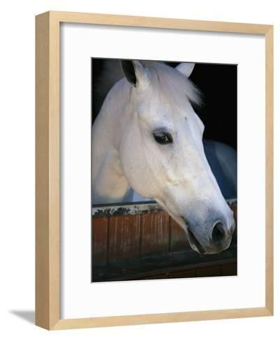 Portrait of a White Horse Looking Out the Door of its Stall-Stacy Gold-Framed Art Print