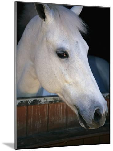 Portrait of a White Horse Looking Out the Door of its Stall-Stacy Gold-Mounted Photographic Print