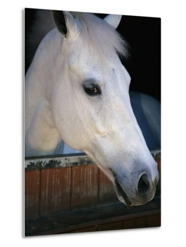 Portrait of a White Horse Looking Out the Door of its Stall-Stacy Gold-Metal Print