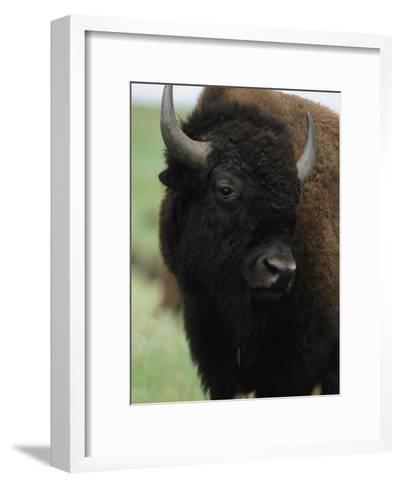 Portrait of an American Bison-Annie Griffiths Belt-Framed Art Print