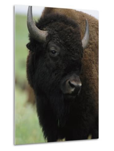 Portrait of an American Bison-Annie Griffiths Belt-Metal Print