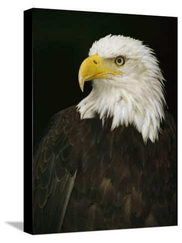 Portrait of an American Bald Eagle-Anne Keiser-Stretched Canvas Print