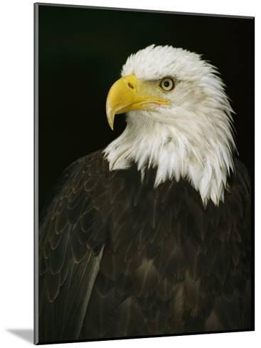 Portrait of an American Bald Eagle-Anne Keiser-Mounted Photographic Print
