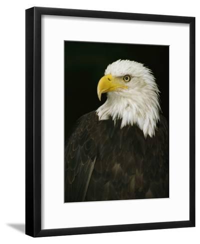 Portrait of an American Bald Eagle-Anne Keiser-Framed Art Print