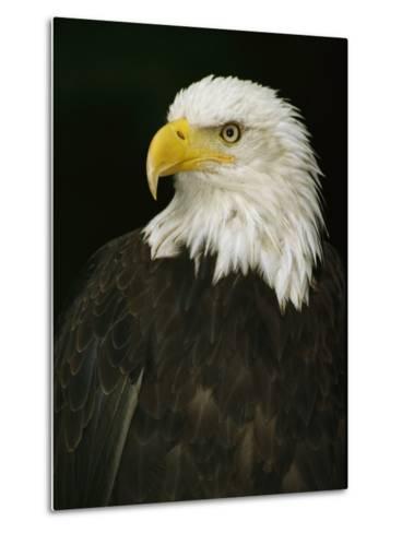 Portrait of an American Bald Eagle-Anne Keiser-Metal Print
