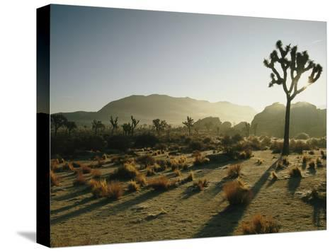 Silhouetted Joshua Trees at Twilight in the Desert-Kate Thompson-Stretched Canvas Print