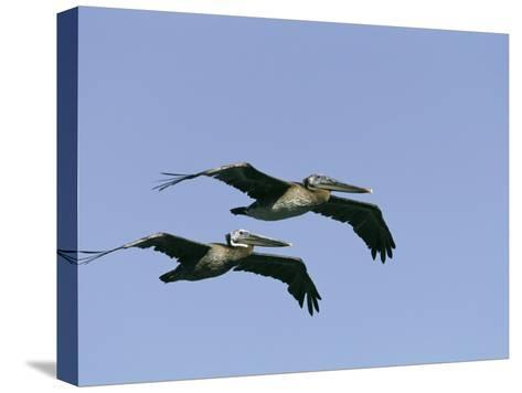 Pair of Brown Pelicans in Flight-Marc Moritsch-Stretched Canvas Print