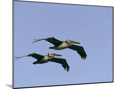 Pair of Brown Pelicans in Flight-Marc Moritsch-Mounted Photographic Print
