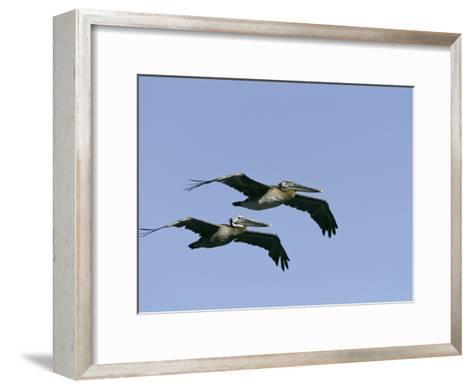 Pair of Brown Pelicans in Flight-Marc Moritsch-Framed Art Print
