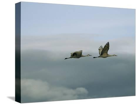 Pair of Sandhill Cranes in Flight-Marc Moritsch-Stretched Canvas Print