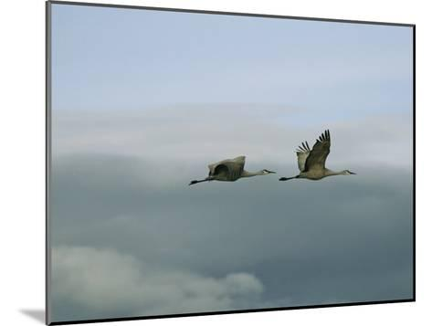 Pair of Sandhill Cranes in Flight-Marc Moritsch-Mounted Photographic Print
