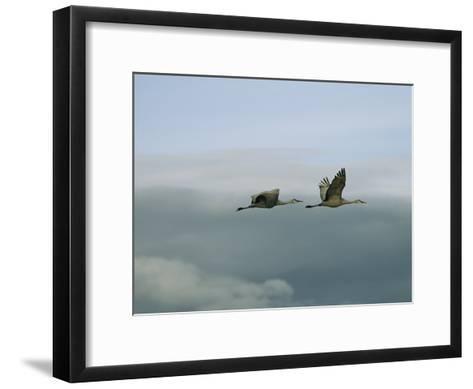 Pair of Sandhill Cranes in Flight-Marc Moritsch-Framed Art Print