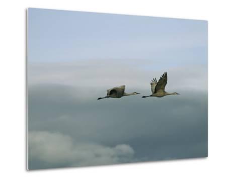 Pair of Sandhill Cranes in Flight-Marc Moritsch-Metal Print