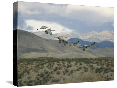 Flock of Sandhill Cranes in Flight over a Hilly Landscape-Marc Moritsch-Stretched Canvas Print